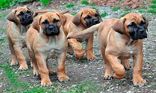 cachorros de boerboel