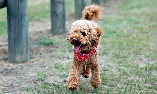Caracteristicas Del Caniche Toy Cuidados Y Fotos De La Raza