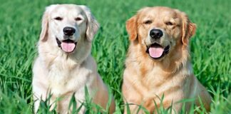 labrador y golden