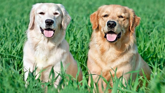 Diferencias Entre Labrador Y Golden Retriever