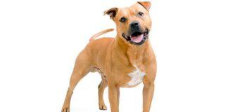 perro-Staffordshire-bull-terrier