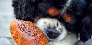 perro-comiendo-pan