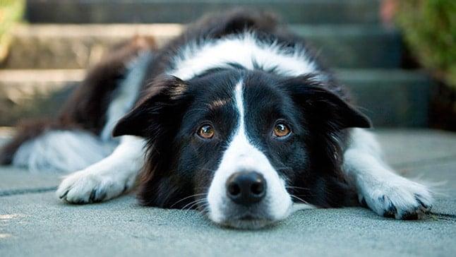perro con lyme
