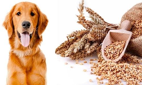 perro intolerancia gluten