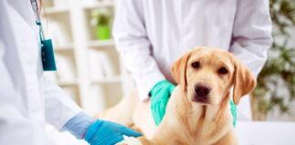 perro-tras-sesión-de-quimioterapia