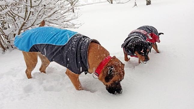 perros comiendo nieve