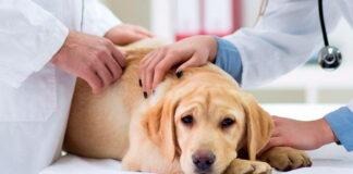 perro-con-artritis-en-el-veterinario