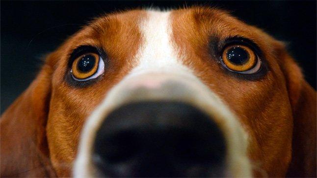 perro-con-glaucoma