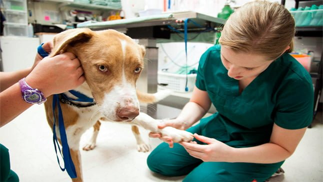 perro-con-leucemia-en-veterinario