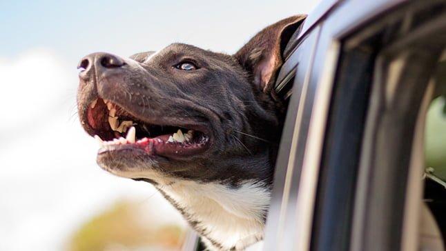 perro en coche