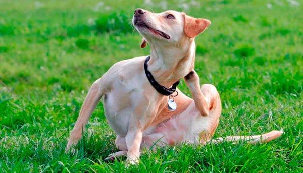 perro rascadose el cuello con la pata