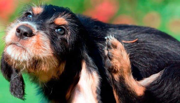 perro rascandose la orjea por picor
