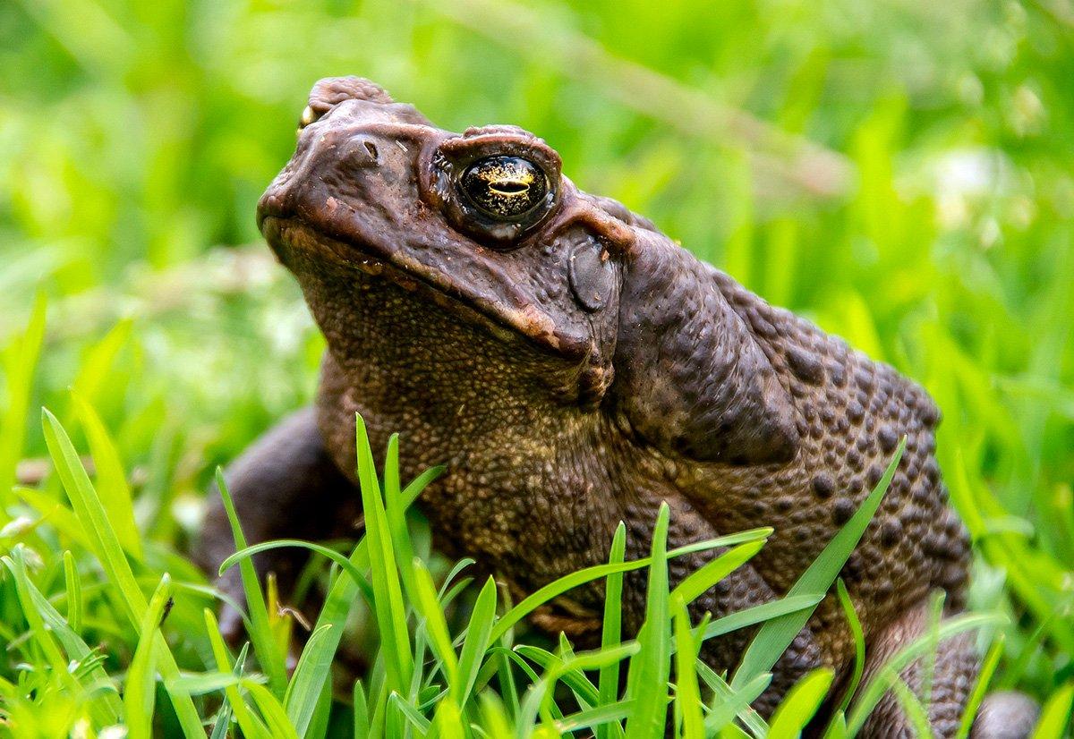 Sapo verde sonorense (Anfibios de Sonora) · iNaturalist