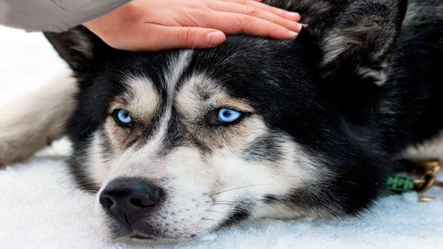husky con dolor de cabeza