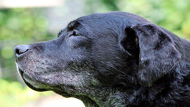 Perro con bastantes canas en el hocico y cuello