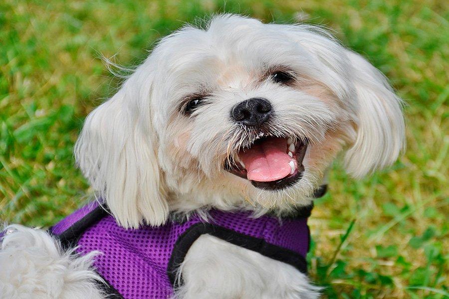 Perro de raza de pequeño tamaño Bichón Maltés