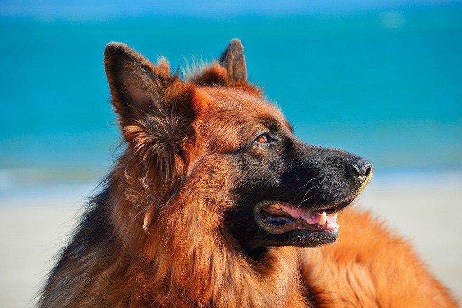 Perro de raza de tamaño grande Pastor Alemán