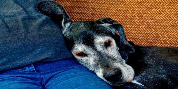 perro anciano con muchas canas, descansando junto a su dueño