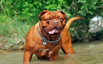 perro de gran tamaño jugando en el agua
