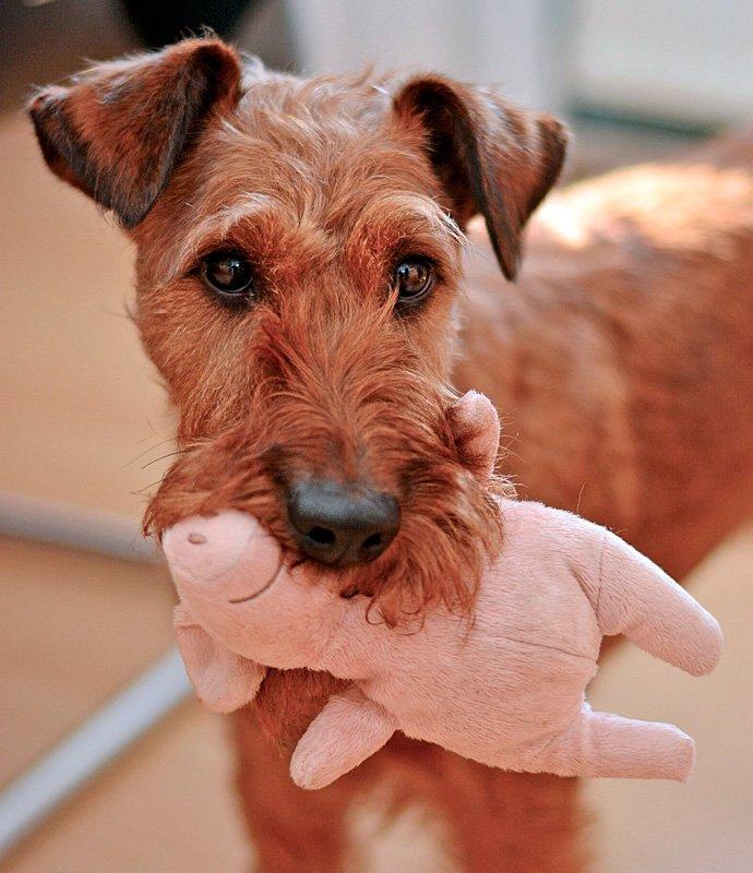 Perro de raza terrier jugando con un peluche