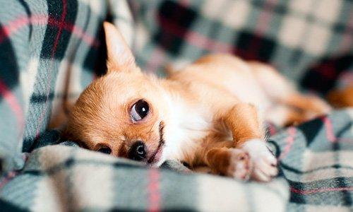 Chihuahua tumbado en el sofá