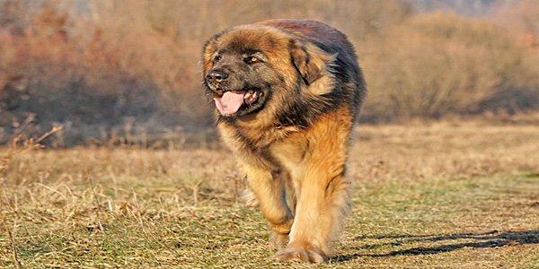 Perro de raza Leonberger