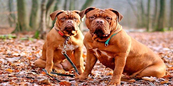 dos dogos de burdeos posando en el bosque