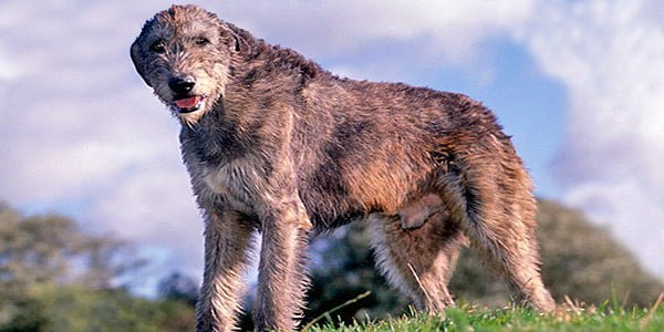 perro lobero irlandes sobre una pradera