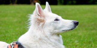 perro adulto de raza pastor suizo