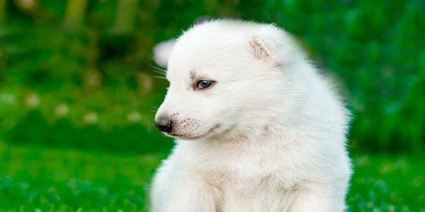 Cachorro de raza pastor suizo