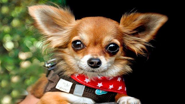 perro pequeño aupado por su dueño