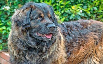 perro de gran tamaño con pelo largo de color marrón