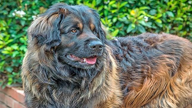 grand chien aux longs cheveux bruns