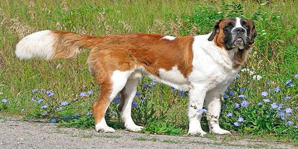 Perro San Bernardo de color blanco y marrón