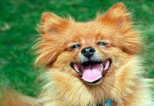 perro de raza spitz sonriendo