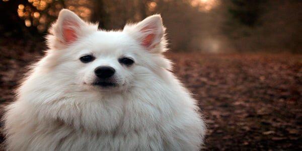spitz alemán de color blanco albino