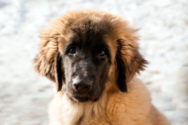 Leonberger-cachorro
