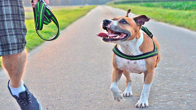 American Pitbull terrier paseando con su dueño