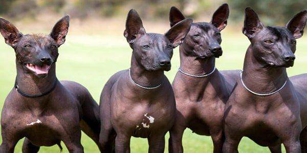 Perros Xoloitzcuintles