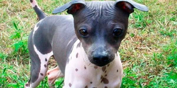 cachorro de american hairless terrier