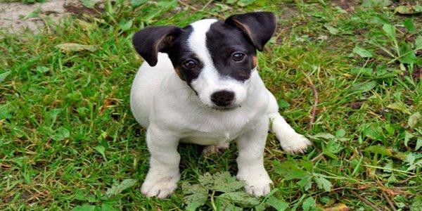 cachorro de perro bodeguero valenciano