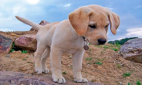 cachorro de labrador