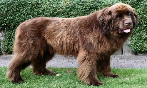 raza de perro caucasico