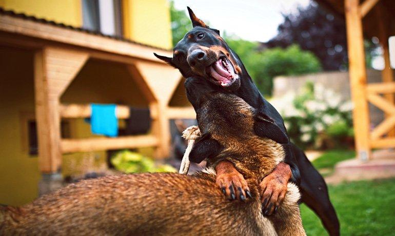 Dóberman jugando con otro perro