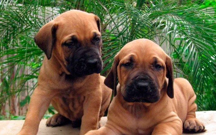 fila-brasileiro-cachorros