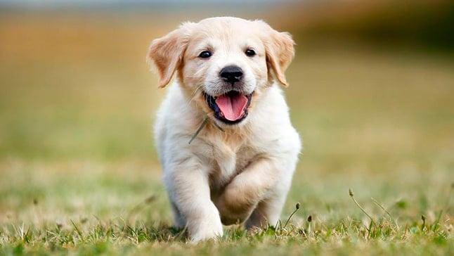 golden cachorro