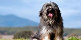 perro gos d atura