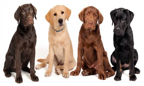 perros adolescentes de labrador