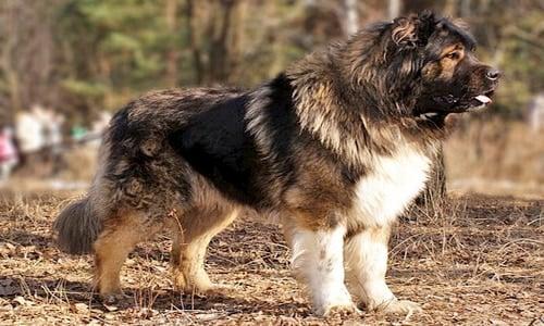 pastor del caucaso