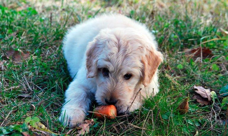 perro comiendo zanahoria